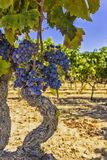 Vines and grapes Royalty Free Stock Image