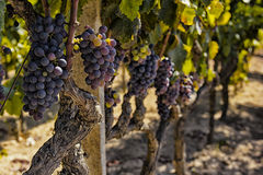 Vines and grapes Stock Photos