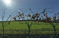 Vines on green. Autumn,beauty,blue,california,country,grass,green,landscape,leaves,napa,orange,red,season,sky,spring,summer,sun,sunlight,travel,traveling,vines Stock Photography