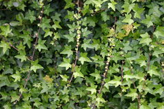 Vines of Green Ivy. A background of green ivy growing tall royalty free stock photos