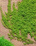 Vines of Green Ivy crawling on the brick wall Stock Image