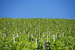 Vines Royalty Free Stock Photos