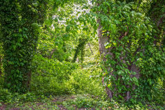 Vines and Greenery Royalty Free Stock Images