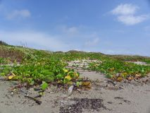 Vines that Grow on the Dunes stock photography