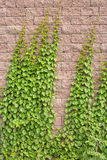 Vines Grow On The Wall Royalty Free Stock Photo