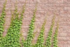 Vines Grow On The Wall Stock Photos