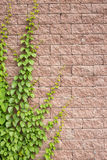 Vines Grow On The Wall Royalty Free Stock Photography
