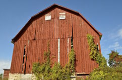 Vines growing on old red barn Royalty Free Stock Images