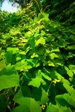 Vines Growing On Hillside Royalty Free Stock Image