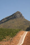 Vines growing in red soil Western Cape S Africa Royalty Free Stock Image