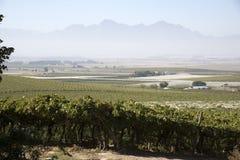 Vines growing under plastic sheeting in the Swartland region of South Africa. RIEBEEK KASTEEL SWARTLAND SOUTHERN AFRICA - APRIL 2016 - Vines growing and Royalty Free Stock Image