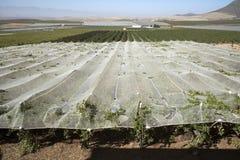 Vines growing under plastic sheeting in the Swartland region of South Africa. RIEBEEK KASTEEL SWARTLAND SOUTHERN AFRICA - APRIL 2016 - Vines growing and Stock Photography