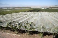 Vines growing under plastic sheeting in the Swartland region of South Africa. RIEBEEK KASTEEL SWARTLAND SOUTHERN AFRICA - APRIL 2016 - Vines growing and Stock Photo