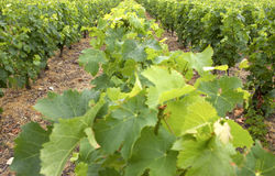 Vines growing in vineyard, loire valley, france Royalty Free Stock Images