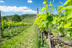 Vines i Tuscany Arkivbild