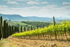 Vines i Tuscany Royaltyfri Foto
