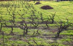 Vines i vinter - Alentejo arkivbild