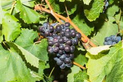 Vines with juicy ripe red wine grapes Royalty Free Stock Image