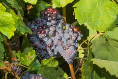 Vines with juicy ripe red wine grapes Stock Photography