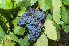 Vines with juicy ripe red wine grapes Royalty Free Stock Photos