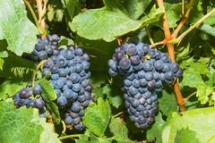 Vines with juicy ripe red wine grapes Stock Photos