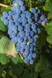 Vines with juicy ripe red wine grapes Royalty Free Stock Images