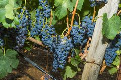 Vines with juicy ripe red wine grapes. Ready to be harvested Royalty Free Stock Photo