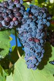 Vines with juicy ripe red wine grapes Stock Image