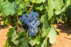 Vines with juicy ripe red wine grapes Royalty Free Stock Photo