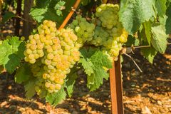 Vines with juicy ripe white grapes Royalty Free Stock Image