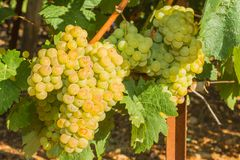 Vines with juicy ripe white grapes Stock Photos