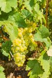 Vines with juicy ripe white grapes Stock Photography