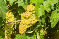 Vines with juicy ripe white grapes Stock Image