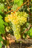 Vines with juicy ripe white grapes Stock Photo