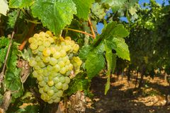 Vines with juicy ripe white grapes Royalty Free Stock Images
