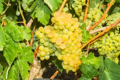 Vines with juicy ripe white grapes Royalty Free Stock Photo