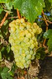 Vines with juicy ripe white grapes Royalty Free Stock Photos