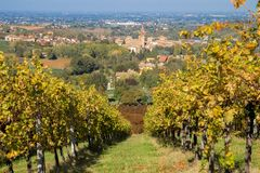 Rows of vine lambrusco autumn colors wine festival of grape stock photography