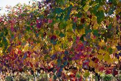Rows of vine lambrusco autumn colors wine festival of grape royalty free stock photos
