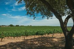 Vines and leafy tree in a vineyard near Estremoz. Landscape of many vines stretches as far as the eye could see and leafy tree in a vineyard near Estremoz. A stock photo