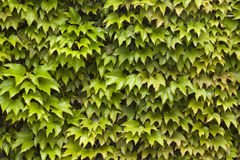 Vines leaves covering a wall Stock Image