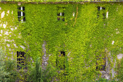 Vines leaves on house Royalty Free Stock Images