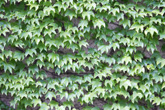 Vines of leaves on a wall Royalty Free Stock Photos