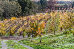 Vines lines. Vineyard plantation during autumn. Full yellow and orange changing leaves Stock Photos