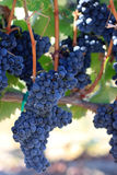 Vines loaded with syrah grapes Stock Images