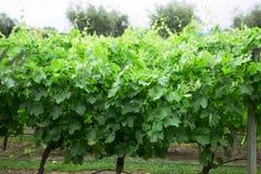 Vines, Lujan de Cuyo, Mendoza Royalty Free Stock Images