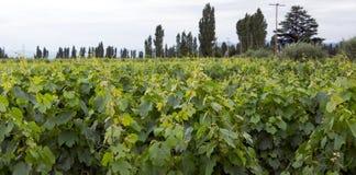 Vines, Lujan de Cuyo, Mendoza Stock Image