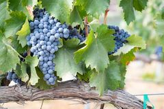 Vines with Lush, Ripe Wine Grapes on the Vine Ready for Harvest Stock Photography