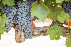 Vines with Lush, Ripe Wine Grapes on the Vine Ready for Harvest Royalty Free Stock Photos