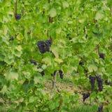 Vines med druvor Royaltyfria Foton